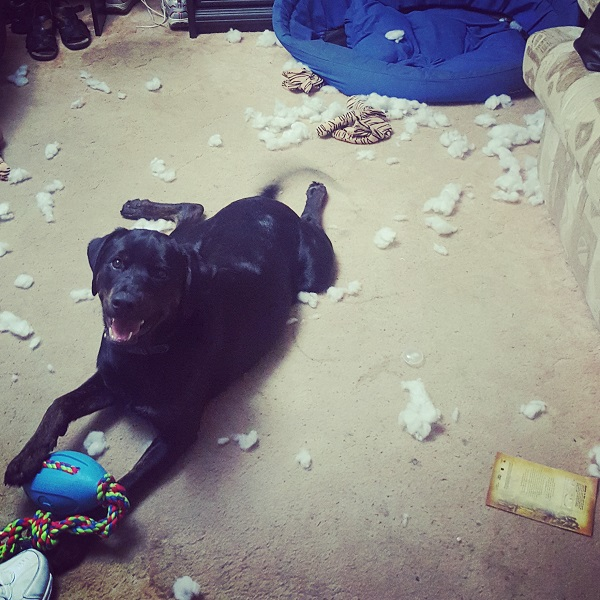 black dog lying on carpet with destroyed toys